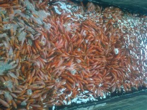 nabila farm pusatnya jual benih dan bibit ikan murah