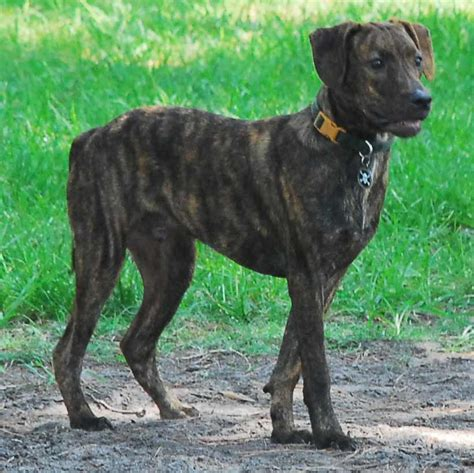 brindle puppies treeing tennessee brindle breed info pics more