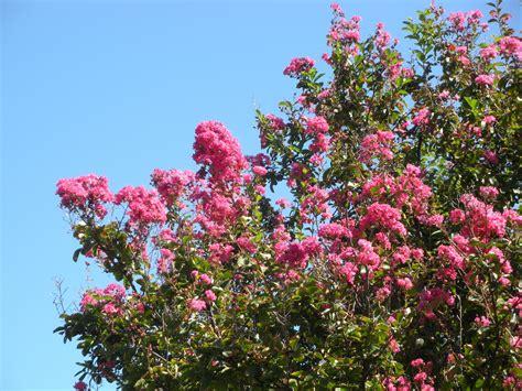 myrtle plant crepe myrtle