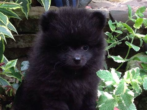 small black pomeranian small black pomeranian pup ilford essex pets4homes