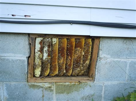 honey bee removal alamo honey farms