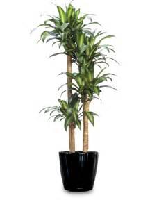 dracaena fragrans carefree plant designs