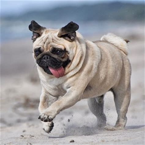 what problems do pugs pug breed information characteristics heath problems dogzone