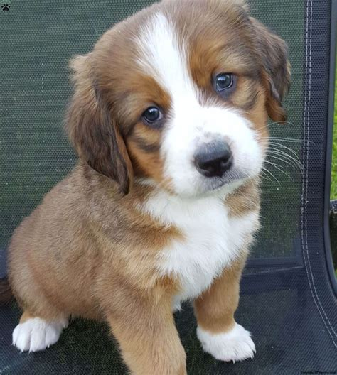 bernese mountain mix puppies for sale bernese mountain mix puppy for sale in pennsylvania