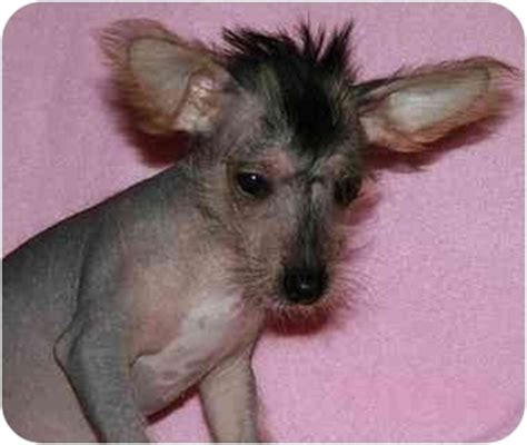 crested yorkie mix small dress chihuahua yorkie crested breeds picture
