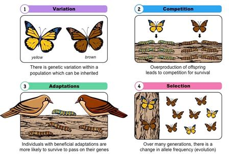 what is natural section natural selection bioninja