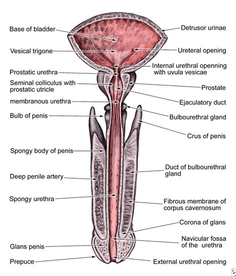 anatomy diagram urology anatomy human anatomy diagram
