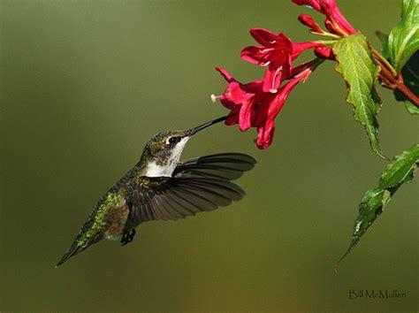 ruby throated hummingbird feeding from weigela flickr
