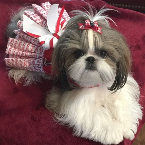 mahogany shih tzu hairstyles 431 best shih tzu images on pinterest puppys cute dogs