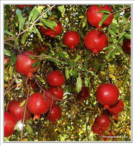 Pome Buah ibucici pomegranate delima merah pelindung kulit