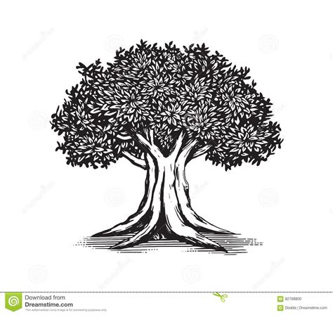 line drawing oak tree www pixshark com images