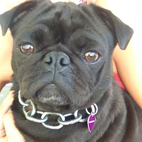im a pug pin by elimay supplements on elimay canines