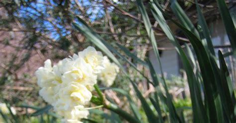 best fragrant plants marcelle nankervis top 10 fragrant plants for