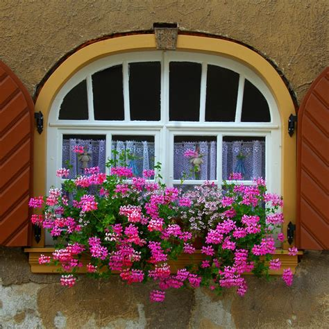 best window boxes pink trailing geraniums flowers in containers