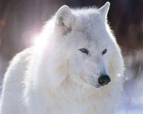 imagenes lobo blanco lobos wallpapers taringa