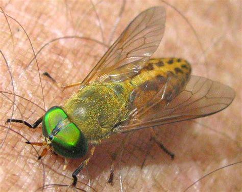 Flies In Backyard Horsefly Genus Tabanus