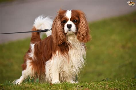 king cavalier cavalier king charles spaniel breed information buying advice photos and facts