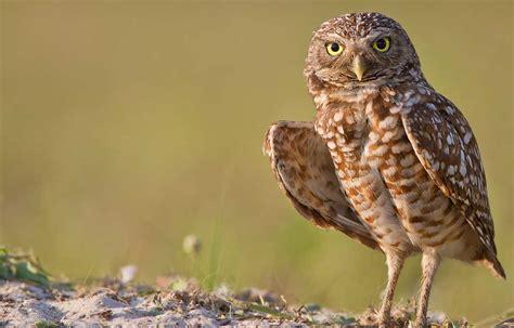 hinterland who s who burrowing owl