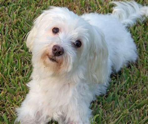when are puppies fully grown maltese dogs grown dogs dogs dogs best dogs the o jays and puppys