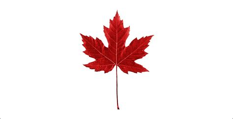 file canadian maple leaf jpg maple leaf clip black and white cliparts co