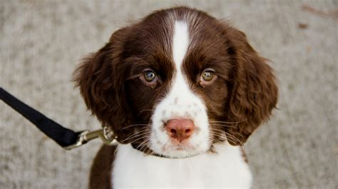 springer spaniel puppies the springer spaniel the happy puppy site