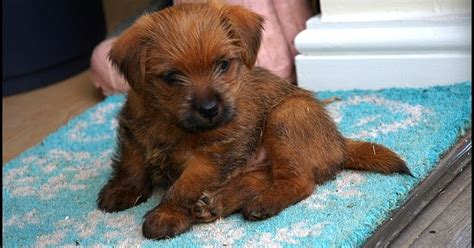 Do Norfolk Terriers Shed by All About Terrier Breeds All About The Norfolk Terrier