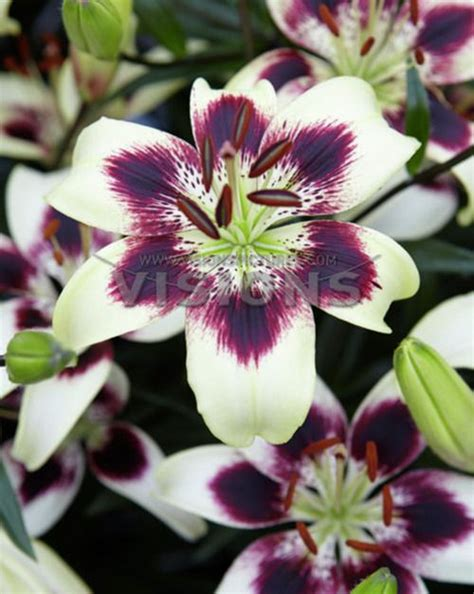 Fl Flower Lust 17 best images about asiatic lillies on gardens and mona