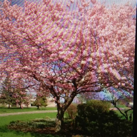 cherry tree mac os x 17 best images about trees bushes and shrubs for the yard on yoshino cherry tree