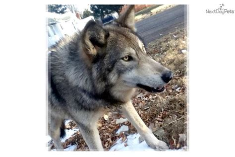 wolf puppies for sale in ohio wolf hybrid dogs puppies for sale in ohio wolf hybrid html autos weblog