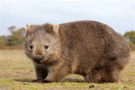 imagenes del animal wombat 12 wonderful facts about wombats mental floss