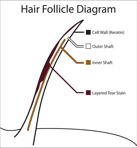 hair diagram hair follicle diagram for