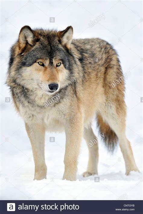 alaskan wolf mackenzie valley wolf rocky mountain wolf alaskan tundra wolf or stock photo