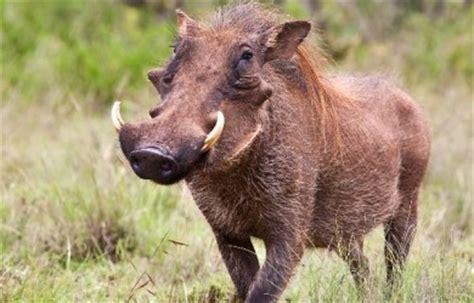 imagenes de animales jabali jabali informacion sobre animales