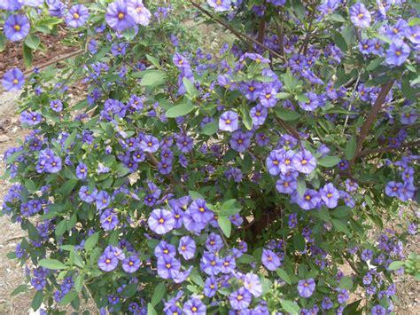 cespugli fioriti primavita piante 187 cespugli fioriti