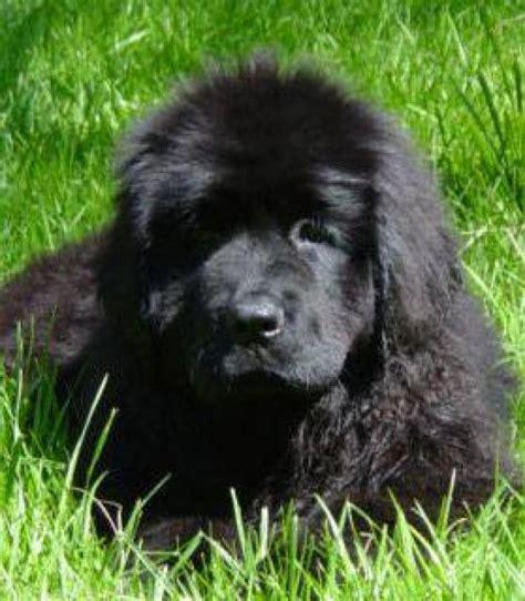 cocos grandes y peludos ranking de razas de perros grandes listas en 20minutos es