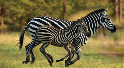 google images zebra zebras zebra lovers pinterest zebras search and google