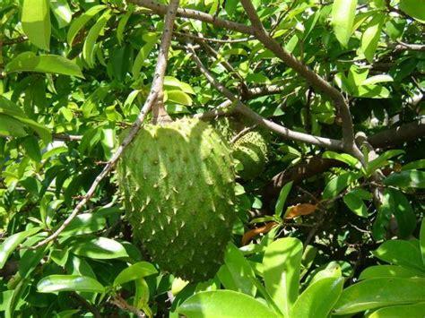 graviola tree fruit for sale health soursop the cancer cell killer