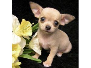 craigslist chihuahua puppies chihuahua puppies for sale