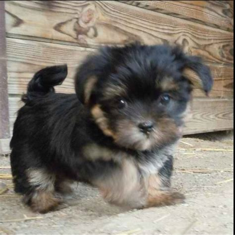 yorkie apso 55 best images about awwwdorable on teacup chihuahua puppies puppys and