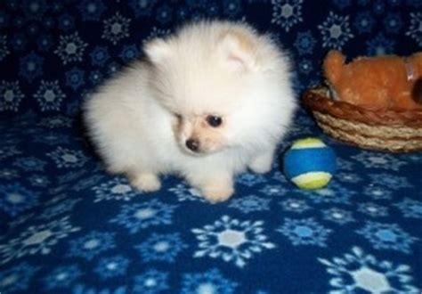 free puppies in wv dogs west virginia free classified ads