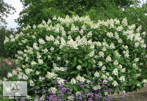 fast growing flowering shrubs hydrangea paniculata tardiva fast growing deciduous