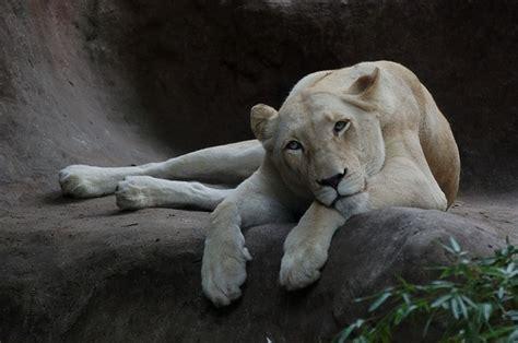 imagenes de lutos blancos los leones blancos hijas de la tierra