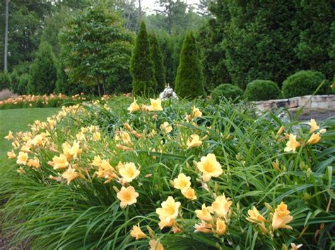 some more mass plantings daylilies
