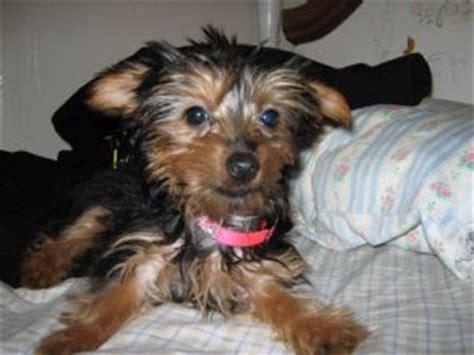 teacup yorkies for sale in detroit michigan terrier puppies in michigan