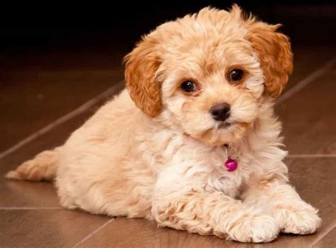 why is my shih tzu shedding hair does maltipoo shed hair 28 images image gallery maltipoo haircuts 17 best images
