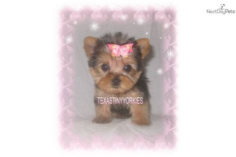 baby doll yorkies for sale yorkie baby doll yorkie puppies for sale teacup yorkie puppy breeds picture