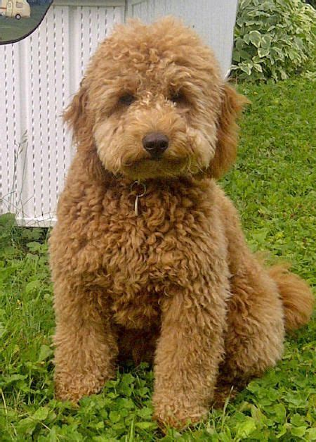 mini doodle wiki 17 best images about mini goldendoodle on
