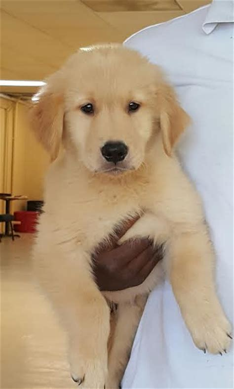 golden retriever 8 weeks ranger akc golden retriever puppy trained and for sale s best friend