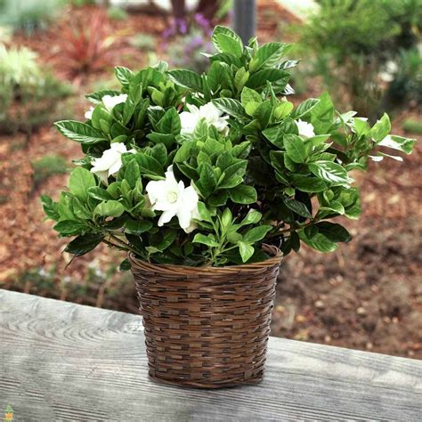 Gardenia House Plant August Gardenia Plants For Sale The Planting Tree