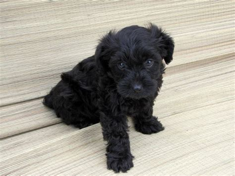 how do yorkie poos live meet my puppy the yorkie poo aww